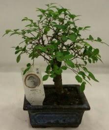 Minyatür ithal japon ağacı bonsai bitkisi  Hakkari çiçekçi telefonları