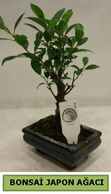 Bonsai japon ağacı saksı bitkisi  Hakkari çiçek online çiçek siparişi