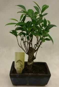 Japon ağacı bonsai bitkisi satışı  Hakkari çiçek gönderme