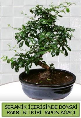 Seramik vazoda bonsai japon ağacı bitkisi  Hakkari çiçekçi mağazası