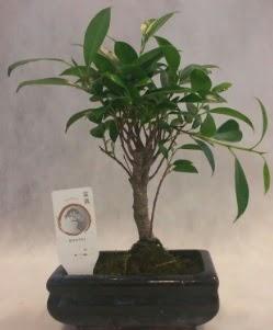 Bonsai japon ağacı bitkisi satışı  Hakkari İnternetten çiçek siparişi