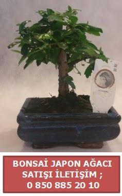 Japon ağacı minyaür bonsai satışı  Hakkari çiçekçi telefonları