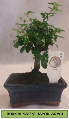 Minyatür bonsai ağacı satışı  Hakkari çiçek yolla