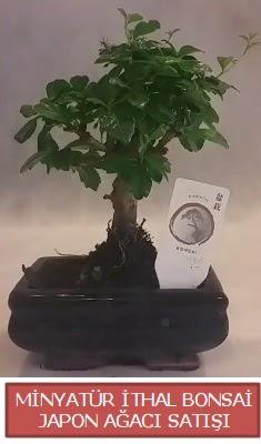 Küçük görsel bonsai japon ağacı bitkisi  Hakkari çiçek satışı
