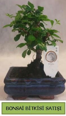 Bonsai ithal görsel minyatür japon ağacı  Hakkari çiçek , çiçekçi , çiçekçilik