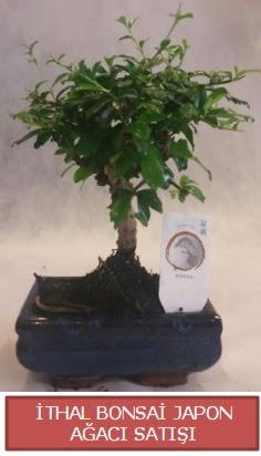 İthal küçük boy minyatür bonsai ağaç bitkisi  Hakkari çiçek gönderme