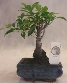 Bonsai ağacı japon ağaç bitkisi  Hakkari çiçek gönderme sitemiz güvenlidir