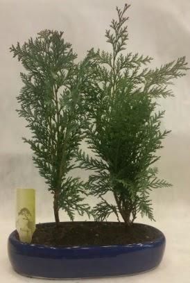 SINIRLI SAYIDA Selvi Ağacı bonsai ikili  Hakkari çiçek gönderme