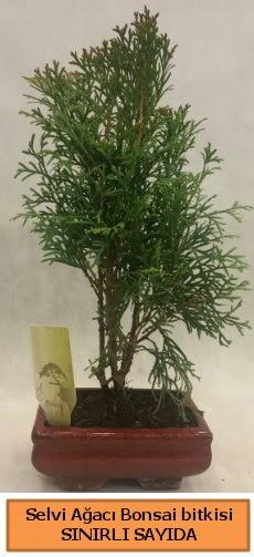 Selvi ağacı bonsai japon ağacı bitkisi  Hakkari çiçekçi telefonları