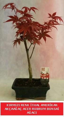 İTHAL ACER RUBRUM BONSAİ AĞACI  Hakkari İnternetten çiçek siparişi