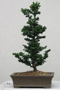 Çam ağacı bonsai bitkisi satışı  Hakkari çiçek gönderme