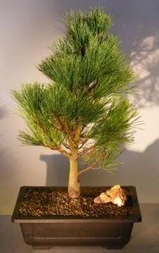 Çam ağacı japon ağacı bitkisi bonsai  Hakkari çiçek gönderme