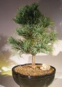 Çam ağacı bonsai bitkisi satışı  Hakkari çiçek , çiçekçi , çiçekçilik