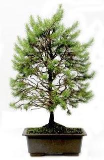 *** STOKTA YOK - Çam ağacı bonsai bitkisi satışı  Hakkari cicek , cicekci