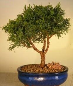Servi çam bonsai japon ağacı bitkisi  Hakkari çiçek gönderme sitemiz güvenlidir