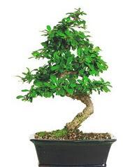 Bonsai bitkisi satışı  Hakkari çiçek gönderme