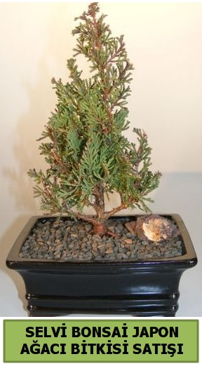 Selvi çam japon ağacı bitkisi bonsai  Hakkari çiçek gönderme