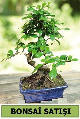 Çam bonsai japon ağacı satışı  Hakkari çiçekçi telefonları
