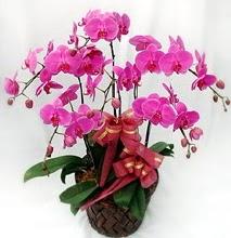 Sepet içerisinde 5 dallı lila orkide  Hakkari çiçek , çiçekçi , çiçekçilik