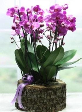 Kütük içerisinde 6 dallı mor orkide  Hakkari çiçek , çiçekçi , çiçekçilik