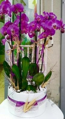 Seramik vazoda 4 dallı mor lila orkide  Hakkari çiçek siparişi vermek