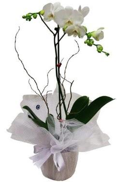 Tek dallı beyaz orkide  Hakkari online çiçek gönderme sipariş