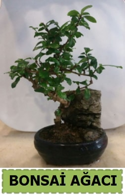 Bonsai ağacı japon ağacı satışı  Hakkari ucuz çiçek gönder