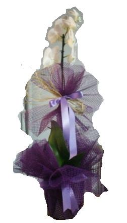 Tek dallı beyaz orkide süper kalite ithal  Hakkari çiçekçi mağazası