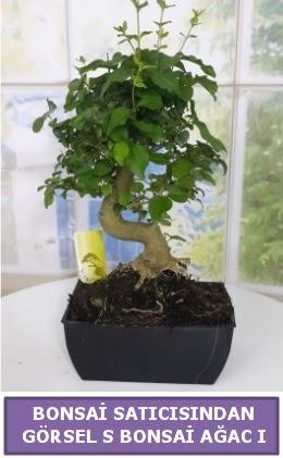 S dal eğriliği bonsai japon ağacı  Hakkari çiçekçi telefonları
