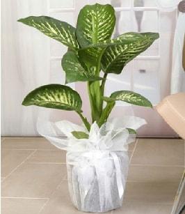 Tropik saksı çiçeği bitkisi  Hakkari çiçekçi telefonları