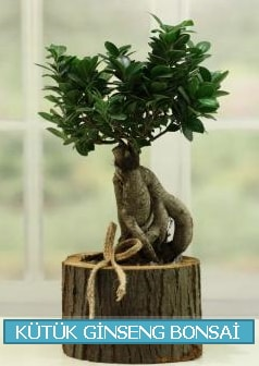 Kütük ağaç içerisinde ginseng bonsai  Hakkari İnternetten çiçek siparişi