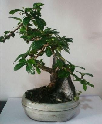 S şeklinde ithal bonsai ağacı  Hakkari çiçek gönderme sitemiz güvenlidir