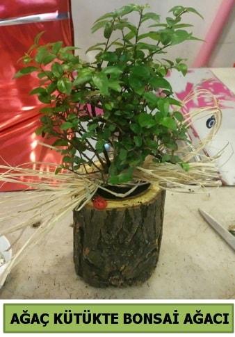 Doğal ağaç kütük içerisinde bonsai ağacı  Hakkari İnternetten çiçek siparişi