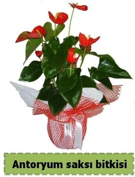 Antoryum saksı bitkisi satışı  Hakkari çiçek satışı