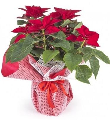 Atatürk çiçeği saksı bitkisi  Hakkari İnternetten çiçek siparişi
