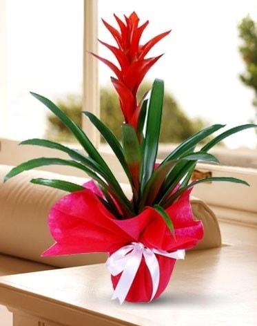Guzmanya Saksı Çiçeği  Hakkari çiçek gönderme sitemiz güvenlidir