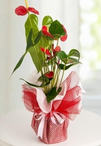 Anthurium Saksı Çiçeği  Hakkari ucuz çiçek gönder