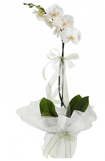 Tekli Beyaz Orkide  Hakkari ucuz çiçek gönder