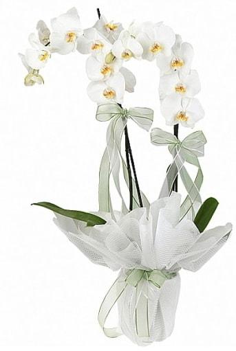 Çift Dallı Beyaz Orkide  Hakkari 14 şubat sevgililer günü çiçek
