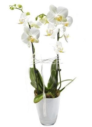 2 dallı beyaz seramik beyaz orkide saksısı  Hakkari İnternetten çiçek siparişi