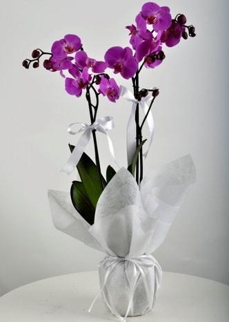 Çift dallı saksıda mor orkide çiçeği  Hakkari internetten çiçek siparişi