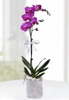 Tek dallı saksıda mor orkide çiçeği  Hakkari internetten çiçek satışı