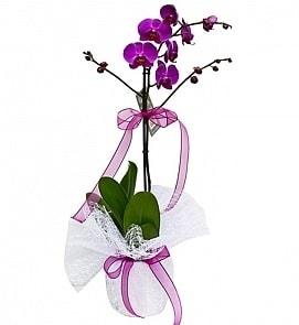 Tek dallı saksıda ithal mor orkide çiçeği  Hakkari internetten çiçek satışı