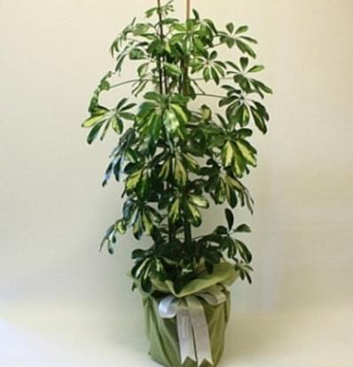 Şeflera salon bitkisi  Hakkari çiçek yolla