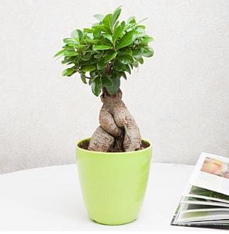 Ficus Ginseng Bonsai  Hakkari uluslararası çiçek gönderme