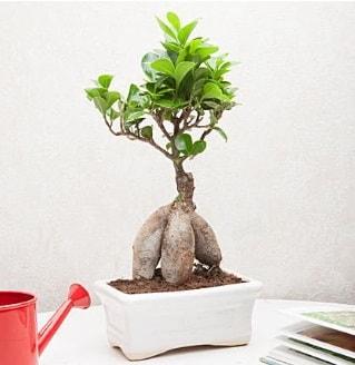Exotic Ficus Bonsai ginseng  Hakkari çiçek online çiçek siparişi