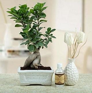 Ginseng ficus bonsai  Hakkari internetten çiçek satışı