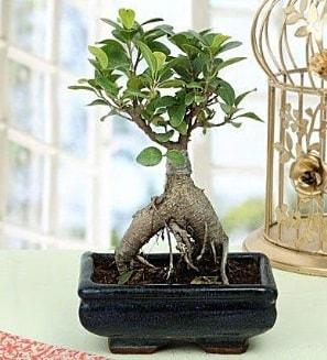 Appealing Ficus Ginseng Bonsai  Hakkari 14 şubat sevgililer günü çiçek