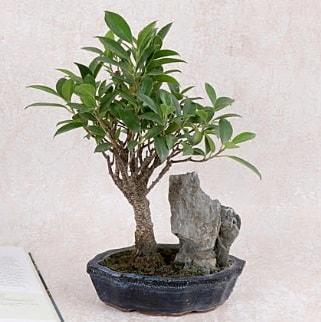 Japon ağacı Evergreen Ficus Bonsai  Hakkari İnternetten çiçek siparişi