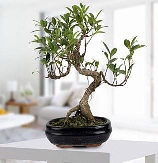 Gorgeous Ficus S shaped japon bonsai  Hakkari güvenli kaliteli hızlı çiçek